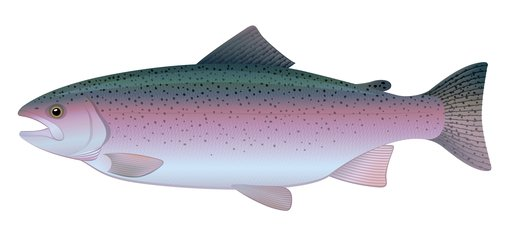 Rainbow Trout found in Flathead Lake