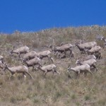 Wild Horse Island Bighorn Sheep on Wild Horse Island