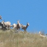 Flathead Lake's famous Bighorn Sheep